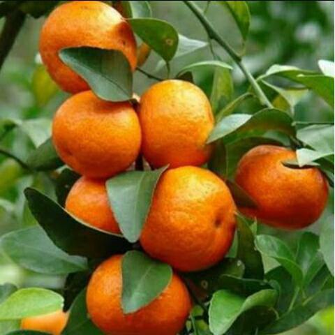 Cara Penanaman Jeruk Lemon California, Jeruk Chokun, Jeruk Santhang Madu
