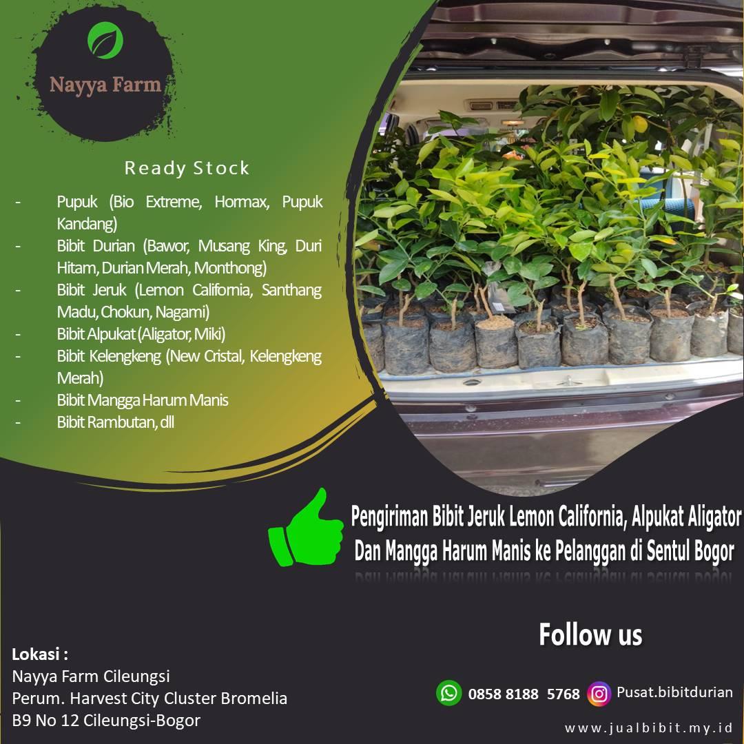 Pengiriman Bibit Jeruk Lemon California, Alpukat Aligator dan Mangga Harum Manis dari Nayya Farm Cileungsi ke Sentul Bogor