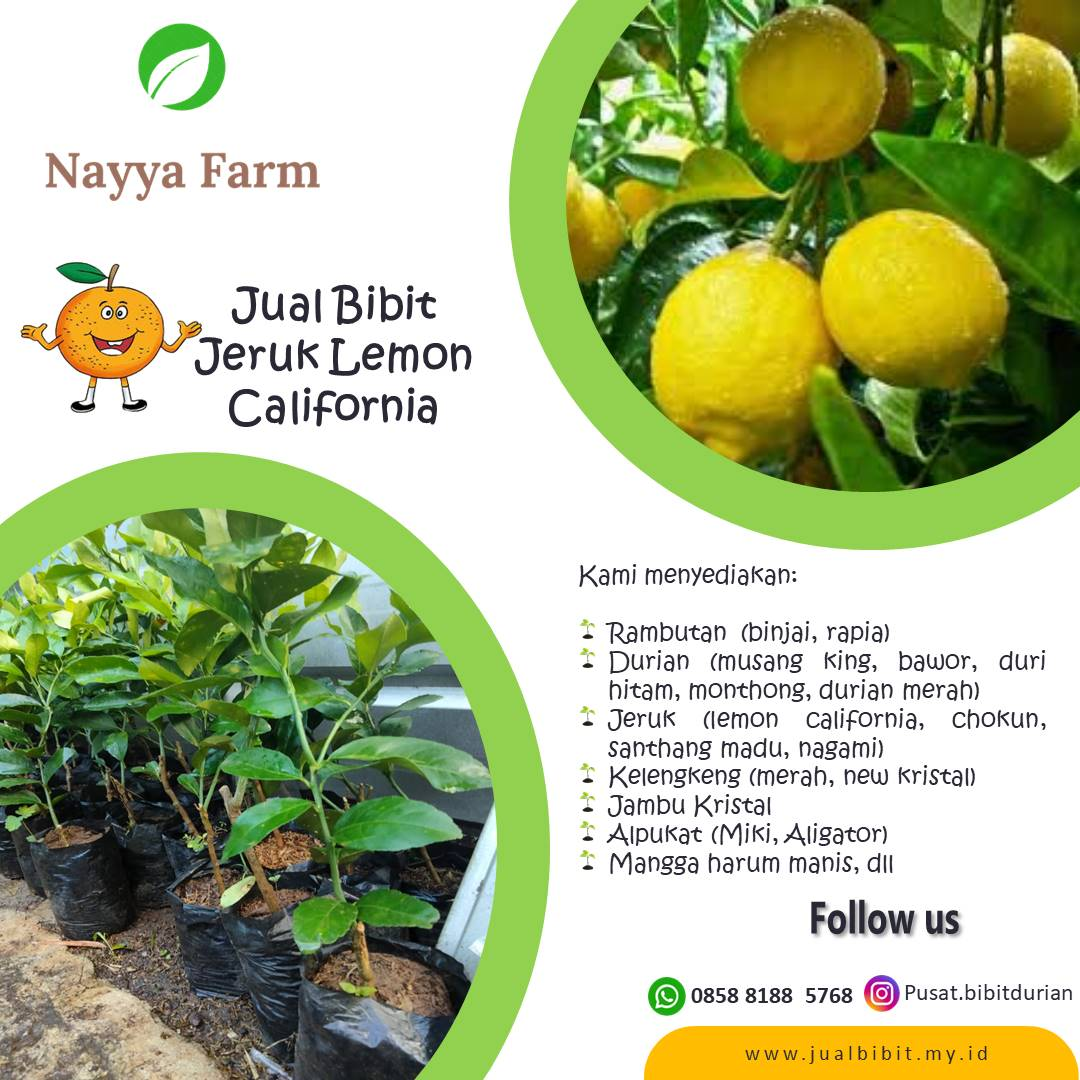 Pengiriman Jeruk Lemon California oleh Nayya Farm Cileungsi ke Rumpin Bogor