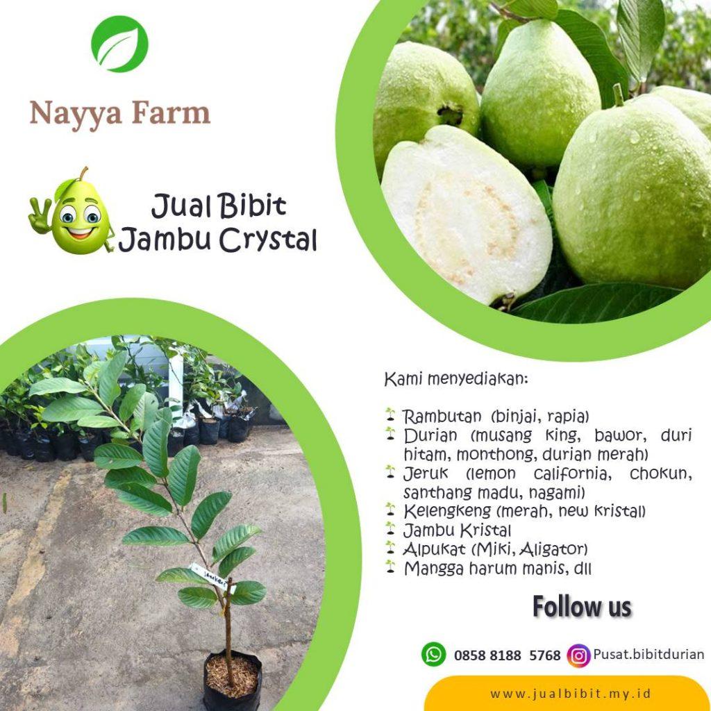 jual bibit buah jambu crystal di Nayya Farm Cileungsi