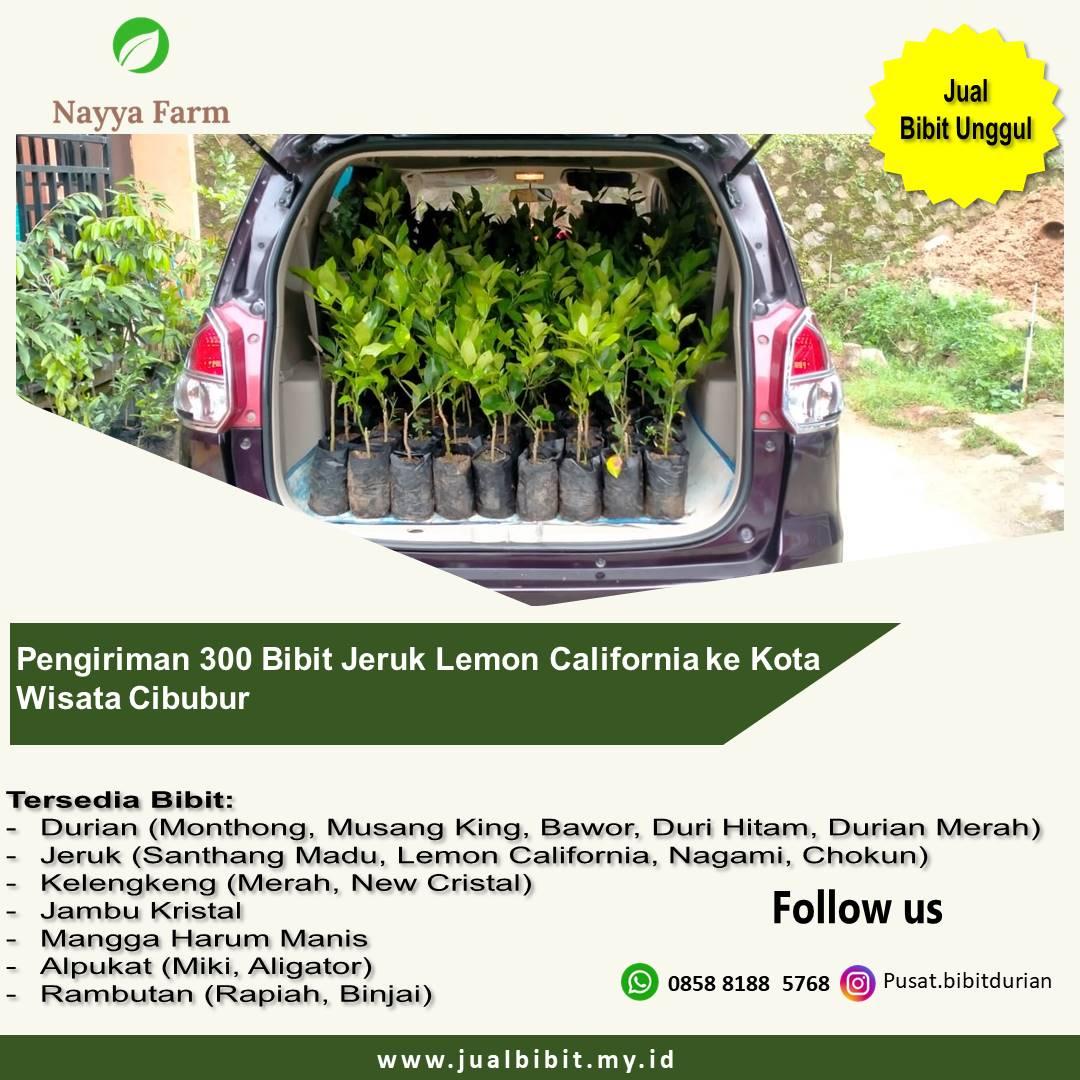 Pengiriman 300 Bibit Jeruk Lemon California ke Kota Wisata Cibubur