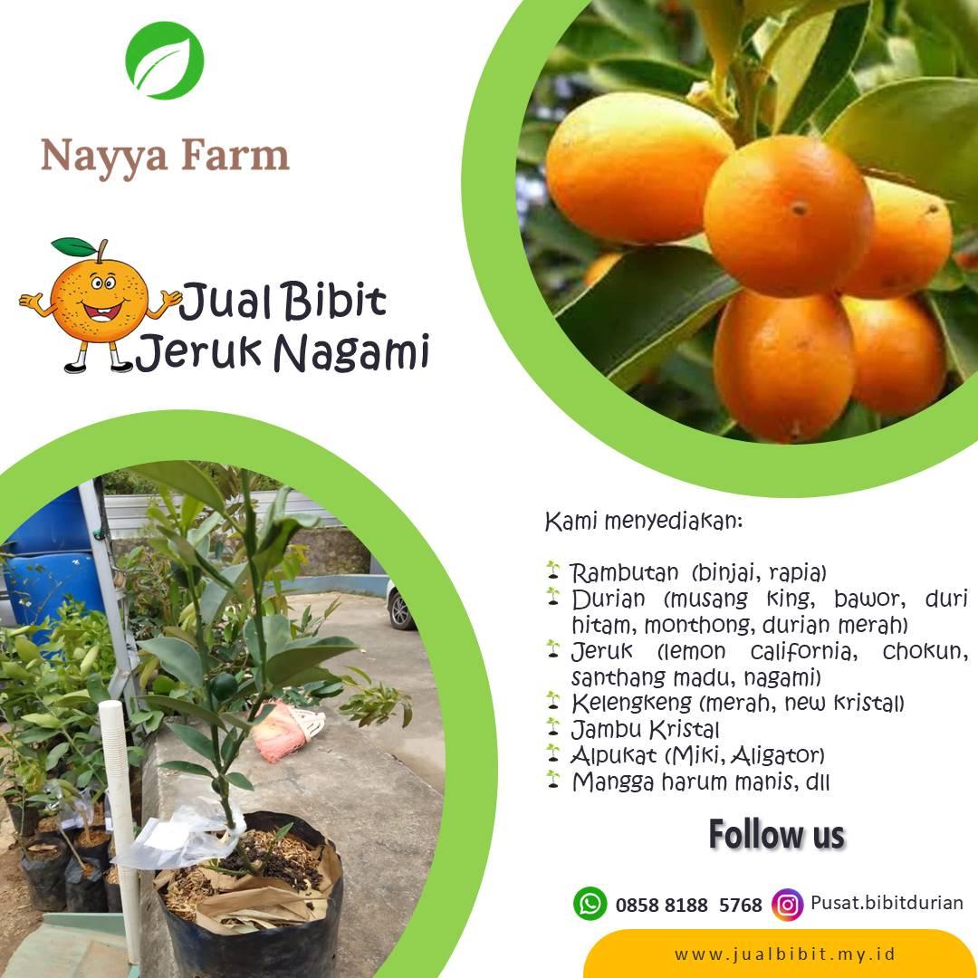 Jual Bibit Buah Jeruk Nagami di Nayya Farm Cileungsi