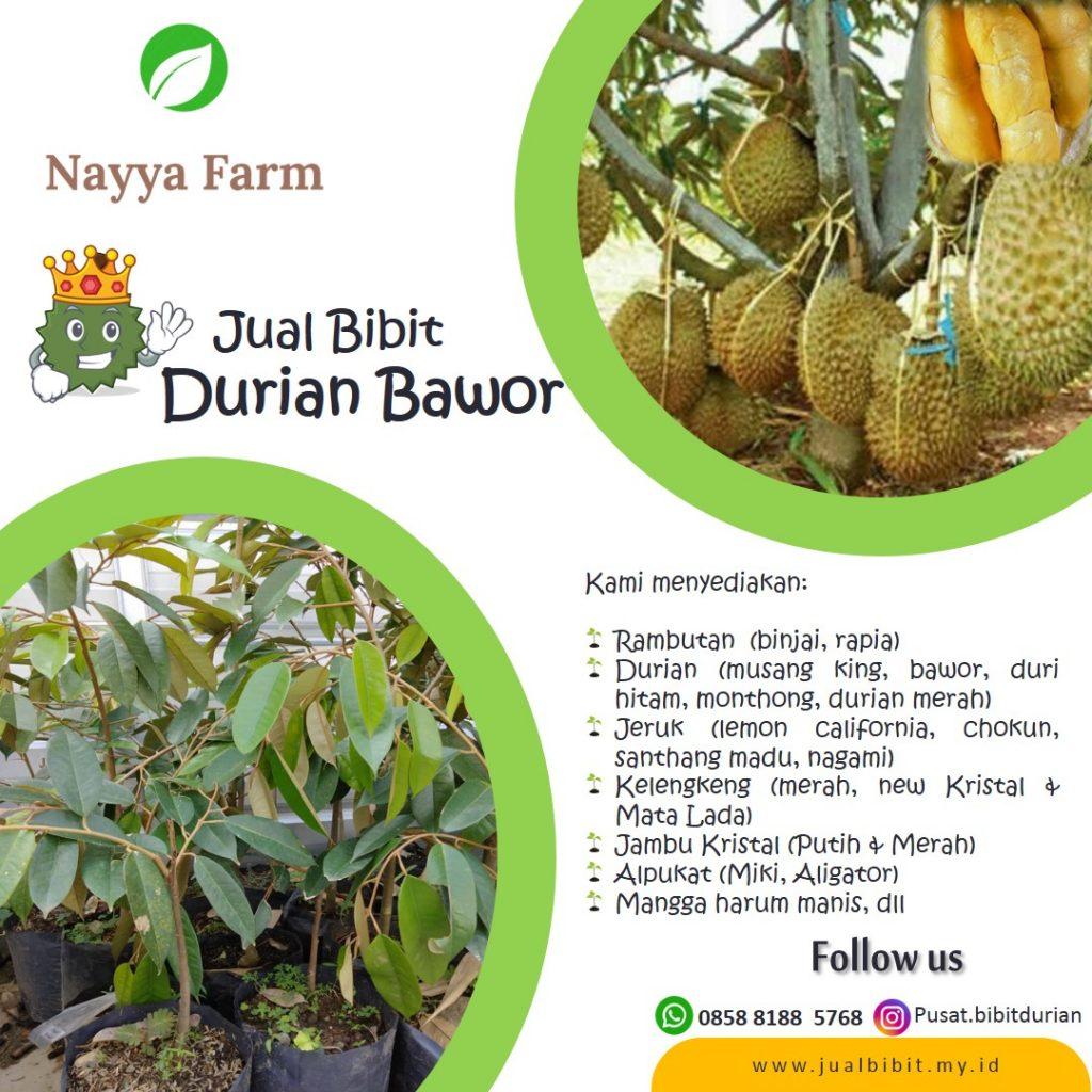 jual bibit durian bawor grosir dan eceran di cileungsi bogor jakarta depok bekasi