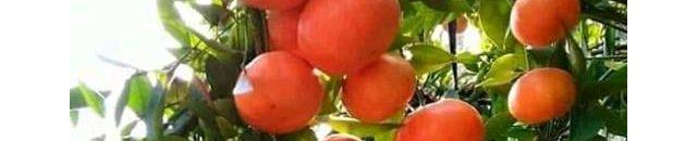 jual jeruk nagami