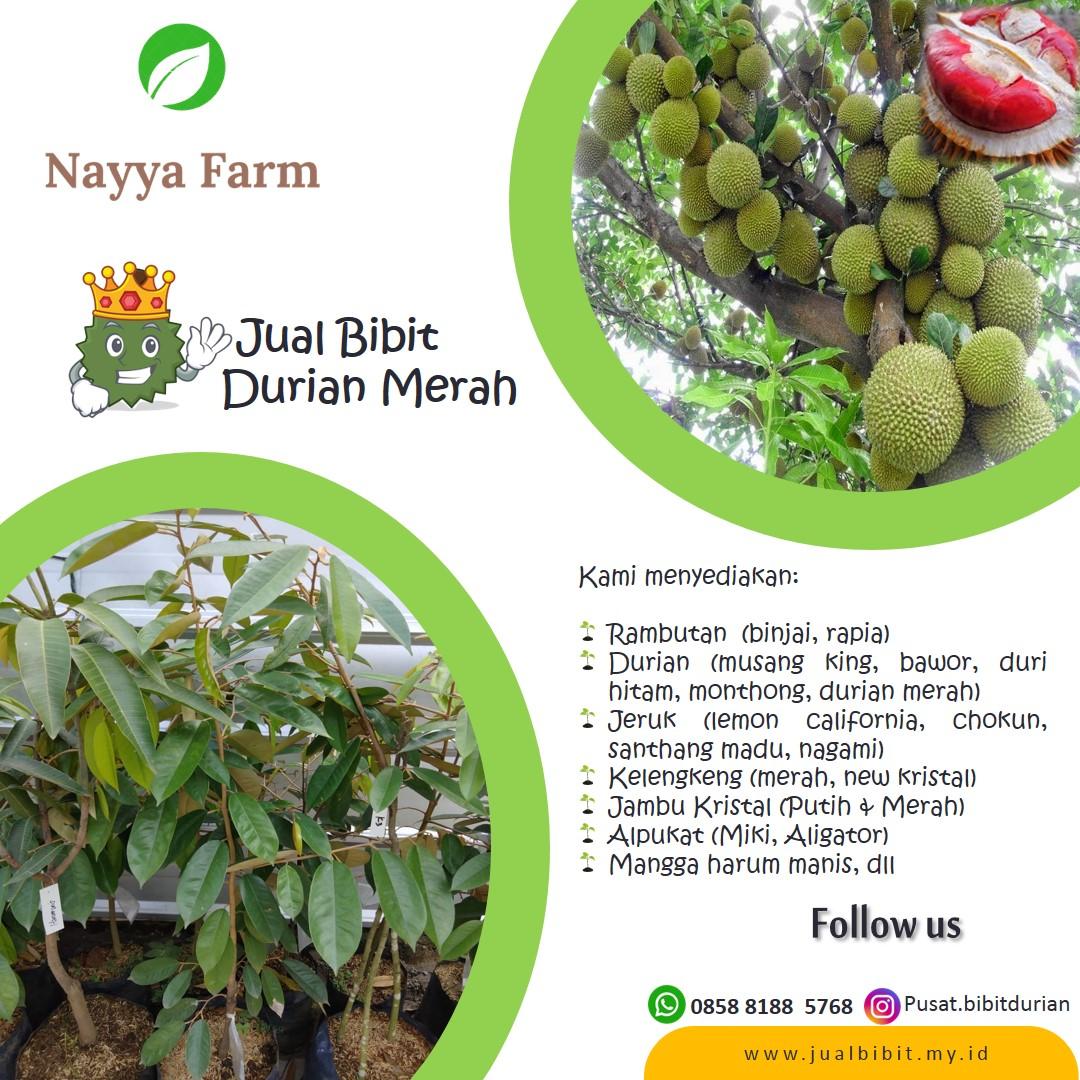 Jual Bibit Unggul Durian Merah di Nayya farm Cileungsi