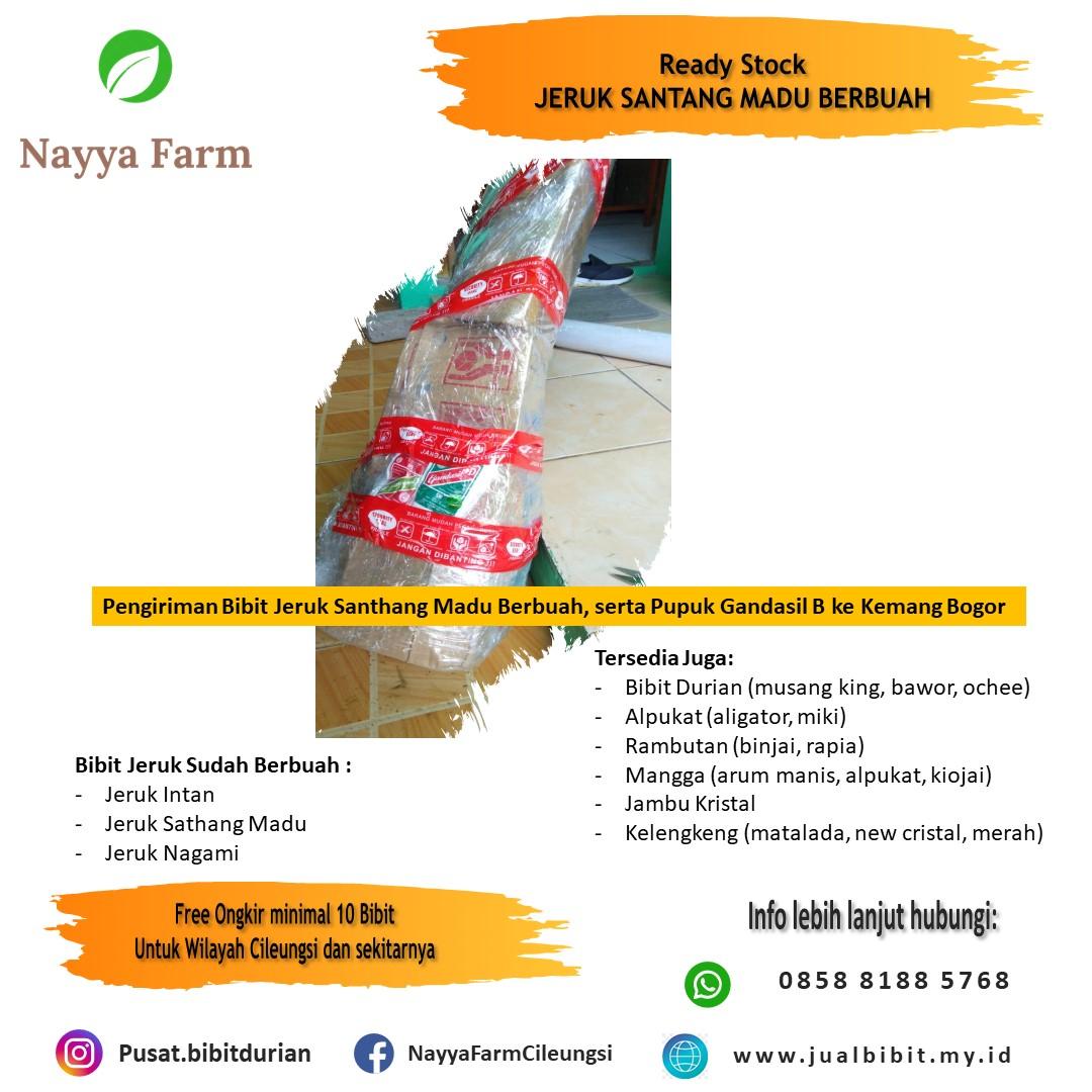 Pengiriman Bibit jeruk Santhang Madu sudah berbuah ke Customer di Bogor via paket