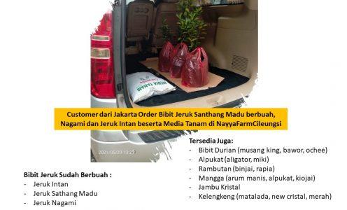 Customer dari Jakarta sudah Order Bibit Jeruk Santhang madu, Jeruk Nagami dan Jeruk Intan berserta Media Tanam