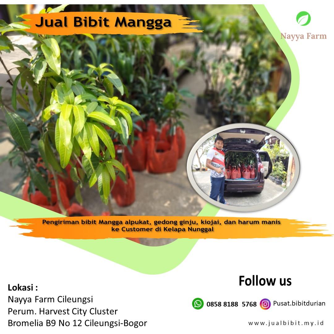 Pengiriman Bibit Mangga ke Customer di Kelapa Nunggal, Free ongkir  min. 10 buah di area Cileungsi
