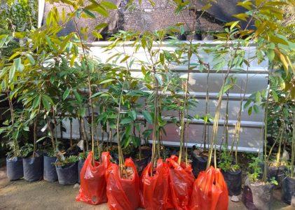 Jual Bibit Durian Bawor, Monthong, Duri Hitam, Musang King kaki 3 di Nayya Farm Cileungsi Bogor