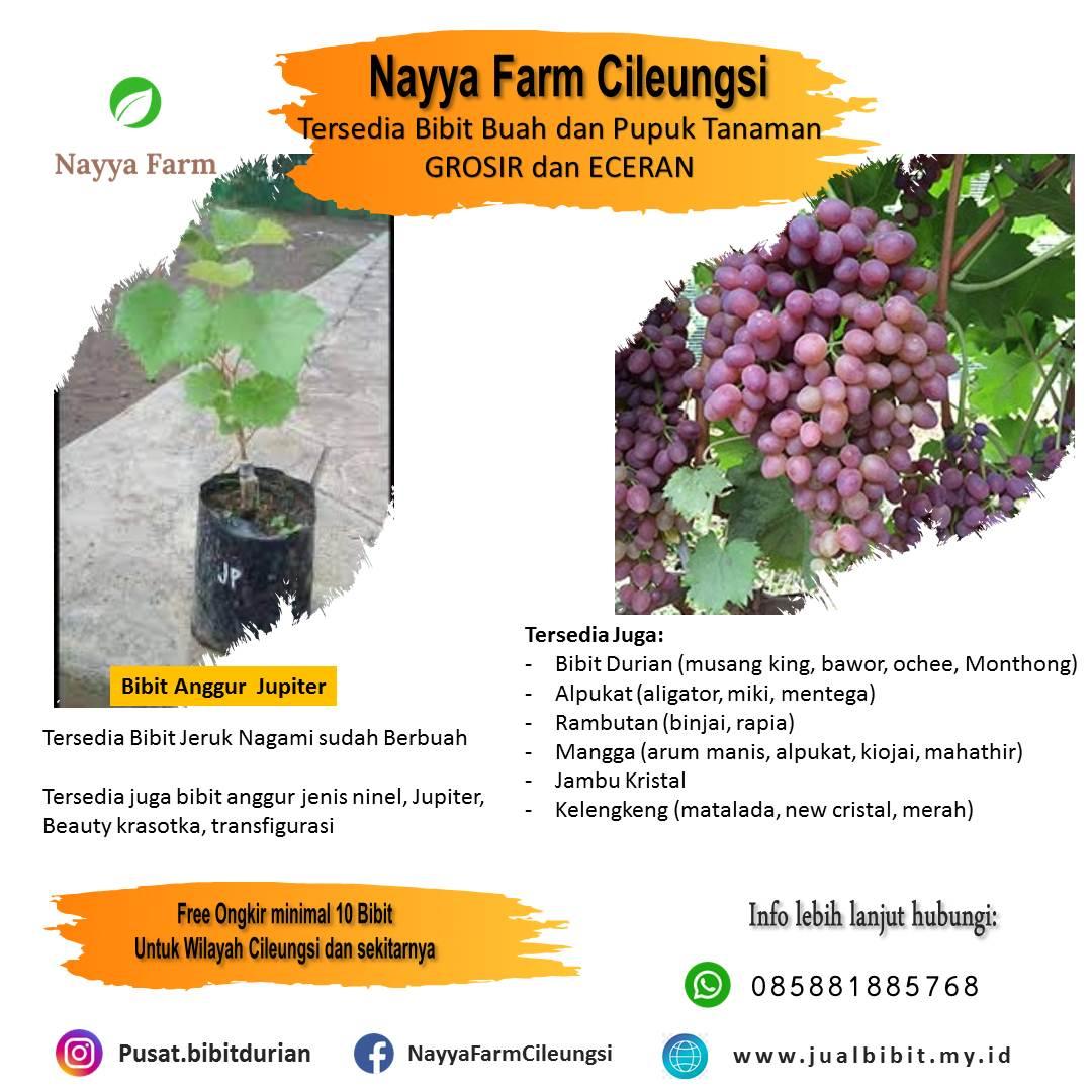 Keunggulan Anggur Jupiter – Jual Bibit Anggur Jenis Jupiter di Nayya Farm Cileungsi
