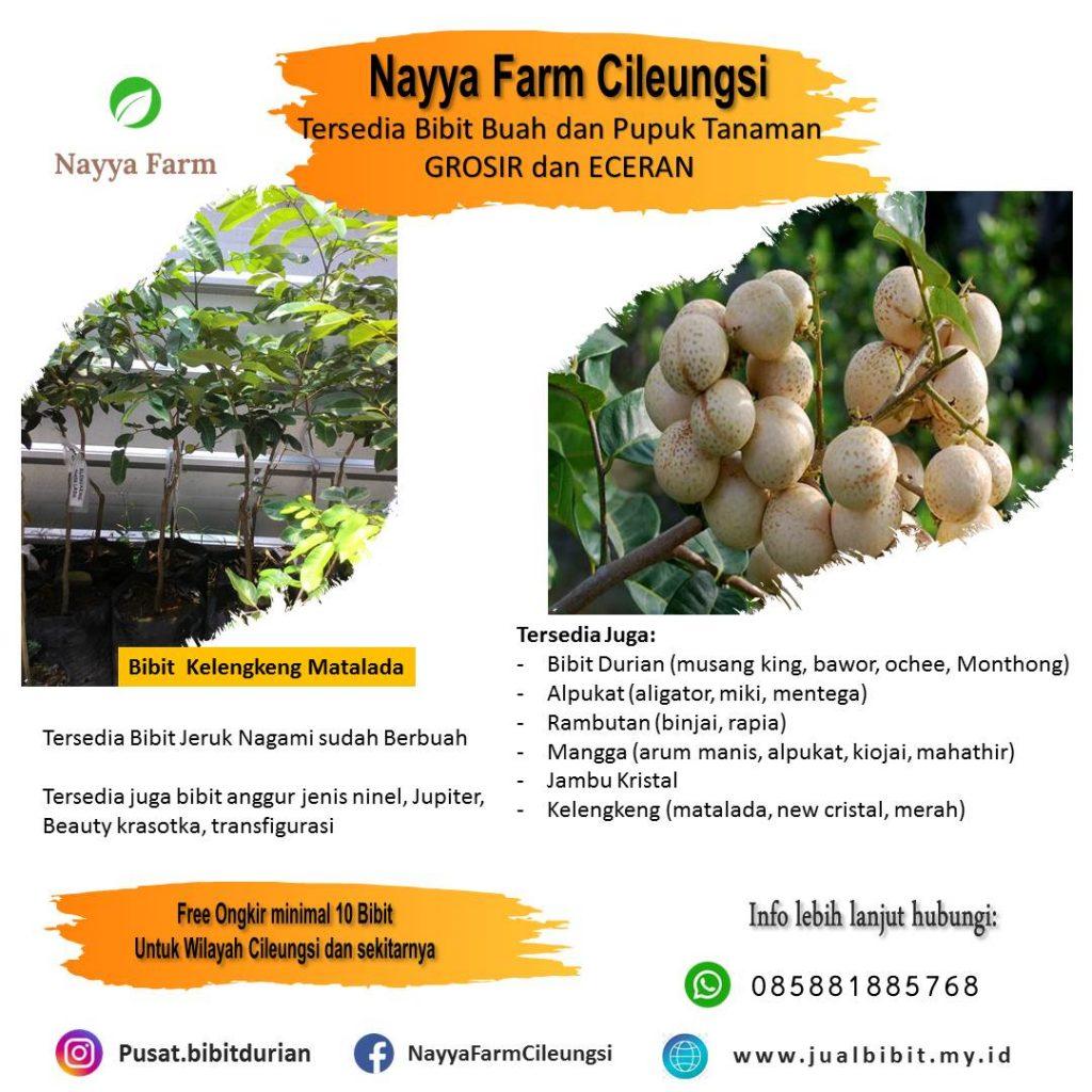 jual bibi kelengkeng matalada di Nayya Farm Cileungsi Bogor