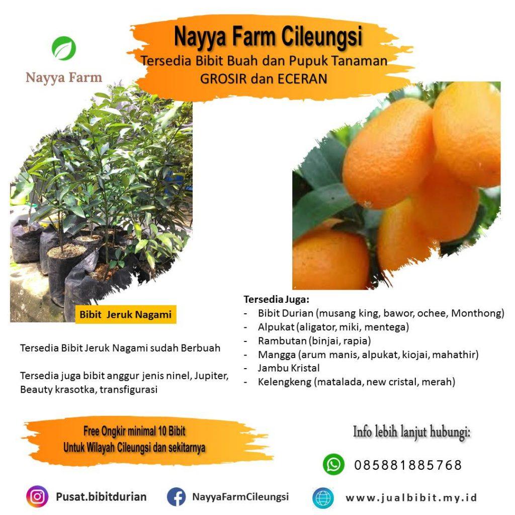 Jual bibit buah jeruk nagami di nayya farm cileungsi bogor