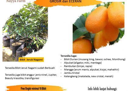 Manfaat Jeruk Nagami – Jual Bibit Buah Unggul di Nayya Farm Cileungsi Bogor