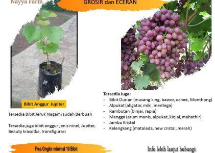Proses Pemindahan Bibit Anggur Jenis Jupiter kedalam Pot di Pusat Bibit Buah Nayya Farm Cileungsi