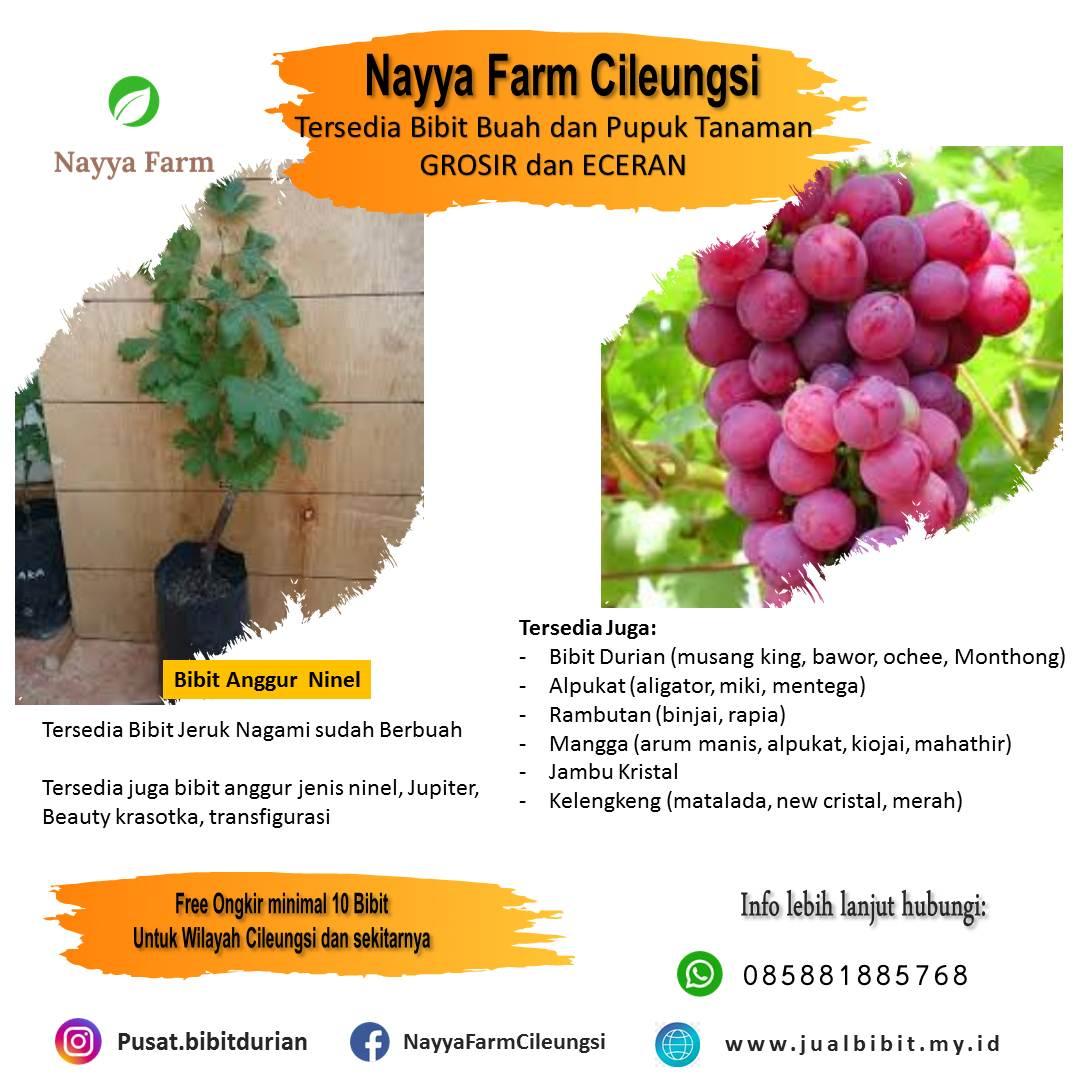 Tentang Anggur Ninel – Jual Bibit Buah Anggur Ninel di Nayya Farm Cileungsi