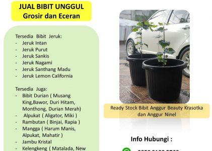 Tentang Anggur Beauty Krasotka dan Ninel – Jual Bibit Buah Unggul di Nayya Farm Cileungsi Bogor