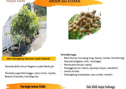 Video Update Stok Bibit Buah di Nayya Farm Cileungsi Bogor